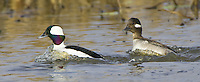 Pair of Buffleheads swimming quickly on a lake