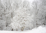 Trees covered in snow Northern Virginia blizzard of 2010 February 9-10 and 25-27 in Mid-Atlantic States rivaling the Knickebocker storm of 1922 Snowmageddon Snowpocalypse, Trees covered in snow, Forest in snow, Virginia storm of 2010,