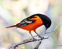 Adult male Baltimoe oriole