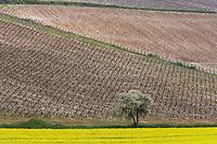 Europe/France/Bourgogne/89/Yonne/Env de Chablis/Beine: le vignoble AOC Chablis au printemps et champ de colza