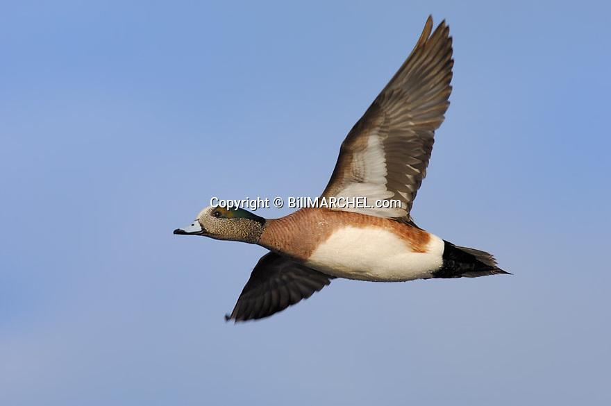 00318-006.14 American Wigeon Duck (DIGITAL) drake in flight against a blue sky.  Fly, action, baldpate, hunt, waterfowl, wetlands.  H6L1