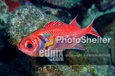 28 January 2016:  A nocturnal Squirrelfish (Holocentrinae) swims on the reef at Captain Don's Habitat in Bonaire. Bonaire is known for its pioneering role in the preservation of the marine environment. A part of the Netherland Caribbean Islands, Bonaire is located off the coast of Venezuela and offers excellent scuba diving, snorkeling and windsurfing.  Mandatory Credit: Ed Wolfstein Photo *** RAW (NEF) Image File Available ***