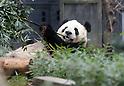 Giant pandas at Ueno zoological gardens in Tokyo
