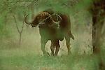 A cape buffalo walks through the woods in Serengeti National Park, Tanzania.
