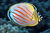 Ornate Butterflyfish Chaetodon ornatissimus reach up to eight inches in length and feed exclusively on live corals. Hawaii.