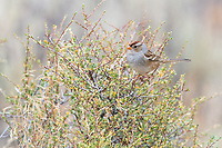 Immature White-crowned Sparrow (Zonotrichia leucophrys). Deschutes National Forest, Oregon. September.