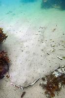 California Angel Shark (Squatina californica) aka Pacific Angel Shark. Ventura, California, USA, eastern Pacific Ocean