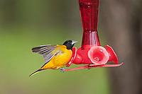 Northern Oriole (Icterus galbula) male in breeding plumage drinks from backyard hummingbird feeder.  Lake Erie.
