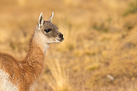 Guanacos are ubiquitous in and around Torres del Paine.  This is a youngster.