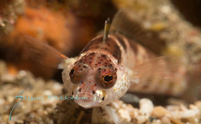Blackfin Sandperch, Parapercis snyderi