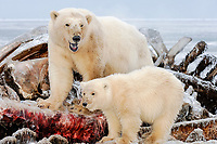 polar bear, Ursus maritimus, mother with cub scavenging a bowhead whale, Balaena mysticetus, carcass on the pack ice, 1002 area, Arctic National Wildlife Refuge, Alaska, polar bear, Ursus maritimus