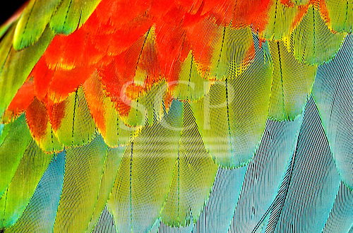Itaparica, Brazil. Wing feathers of a blue and red macaw with green.