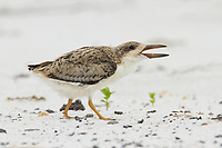 Fledgling Black Skimmer (Rynchops niger) begging. Gulf Islands National Seashore, Florida. June.