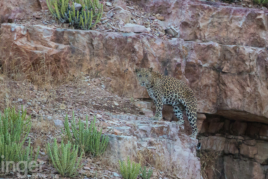Leopard in Ranthambhore Tiger Reserve, Rajastan, India