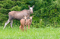 Elks (Alces alces) Females and young animals, Norway, Europe