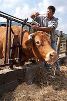 Pozzallo frazione di Romagnese (Pavia). Cooperativa Agricola Canedo: allevamento semibrado di bovini da carne. Ivan --- Pozzallo Romagnese (Pavia). Canedo Agricultural Cooperative: semi-wild breeding of beef cattle