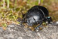 Mistkäfer, Jekelius intermedius, Thorectes intermedius, scarab beetle, scarab beetles, dung beetle, earth-boring dung beetles, Geotrupidae. Korsika, Corsica