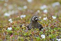 Black Turnstone (Arenaria melanocephala) on the nest. Yukon Delta National Wildlife Refuge, Alaska. July.