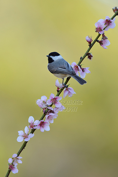 Carolina Chickadee (Poecile carolinensis), adult perched on blooming Peach tree (Prunus persica), Hill Country, Central Texas, USA