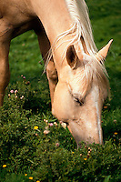 Horse grazing in a field.
