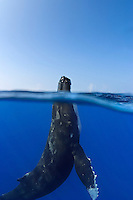 An above and below view of a spyhopping humpback whale (Megaptera novaeangliae), Hawai'i.