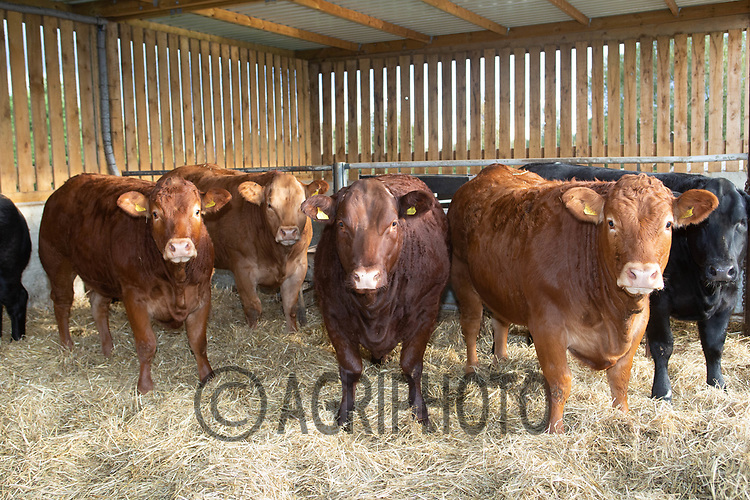 10.10.2020 Beef cattle in a straw yard <br /> ©Tim Scrivener Photographer 07850 303986<br />      ....Covering Agriculture In The