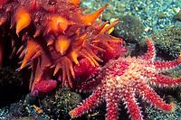 Giant sea cucumber, Parastichopus californicus, Puget Sound, WA, USA