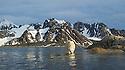 Polar bear contemplates going for a swim after raiding  a bird island in Smeerenburgfjorden, Spitsbergen, Svalbard.
