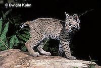 MA26-057z  Bobcat - Felis rufus