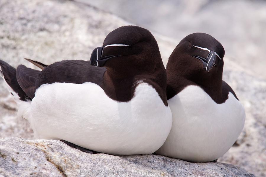 Razorbills, Machias seal island, Maine