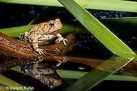 FR10-009x  American Toad - toad sitting in pond, reflection in water - Anaxyrus americanus, formerly Bufo americanus