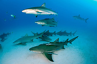 lemon shark, Negaprion brevirostris, with remora, sharksucker, and Caribbean reef shark, Carcharhinus perezii, Bahamas, Atlantic Ocean
