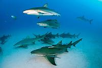 lemon shark, Negaprion brevirostris, with remora, sharksucker, and Caribbean reef shark, Carcharhinus perezii, Bahamas, Atlantic Ocean