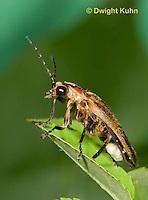 1C24-538z  Firefly Adult - Lightning Bug - Photuris spp.