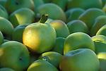Gravenstein apples, just harvested, at Mt. Hood View Orchards, Hood River Valley, Oregon.