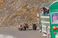 Tourists in a Denali park bus take pictures of a grizzly bear sow and cubs along the park road in Highway pass, Denali National Park.