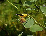 Goldfinch eating Sunflower Seeds. Image taken with a Leica CL camera and 55-135 mm lens
