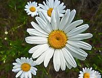 Close up of a white wild daisy.