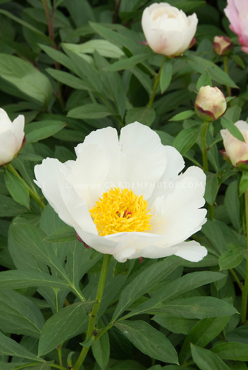 Peonies White Wings perennial herbaceous peony flowers