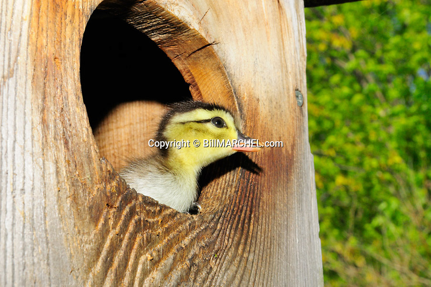 00360-108.05  Wood Duck:  Close up of day-old duckling in entrance to wood duck nesting box.  Hatch, down, bird house, brood, young, egg tooth..