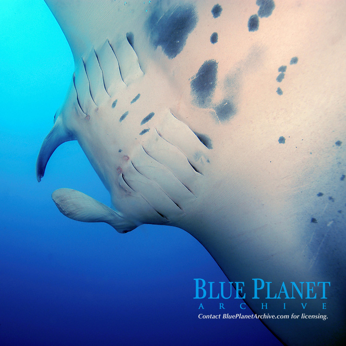 close up of reef manta ray, manta alfredi, Mozambique, Africa, Indian Ocean