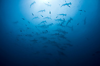 A school of Scalloped hammerhead sharks, Sphyrna lewini, passes like ghosts through the blue water over a rocky pinnacle. This species is difficult to approach on open-circuit scuba. Cocos Island, Costa Rica, Pacific Ocean