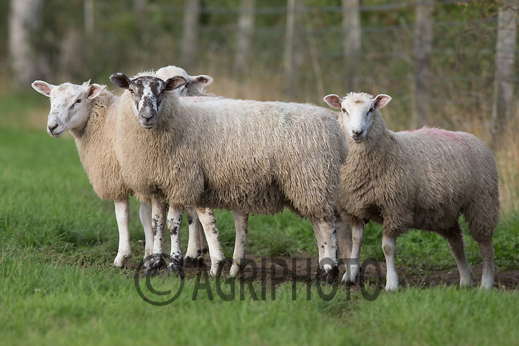 Store lambs out on grass<br /> Picture Tim Scrivener 07850 303986<br /> ….Covering agriculture in the UK….