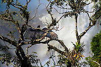 Large, beautiful condor vulture drying his wings in a tree above the famous Iguazu Falls in Iguacu National Park, Iguazu Brazil