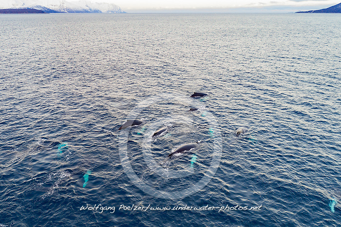 Luftaufnahme von einer Schule von Buckelwalen (Megaptera novaeangliae) , Kvaloyvagen, Norwegen, Atlantik, Atlantischer Ozean / Aerial view of a shool of humpback whales (Megaptera novaeangliae), Norway, Atlantic Ocean