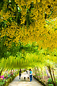 16/05/19<br /> <br /> Evening visitors take their dogs into the Laburnum Arch.<br /> <br /> Mild weather and sunshine has coaxed one of the UK's longest and oldest Laburnum arches, at the National Trust's Bodnant Garden near Conwy, into flower two weeks earlier than normal. Planted in 1880, the arch is the most visited, photographed, Facebooked and 'selfied' feature of the garden, with around 50,000 visitors during its three-week flowering season.<br /> <br /> All Rights Reserved, F Stop Press Ltd +44 (0)7765 242650 www.fstoppress.com rod@fstoppress.com