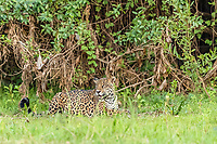 an adult jaguar, Panthera onca, on the riverbank of the Rio Picuiri, Mato Grosso, Brazil, South America