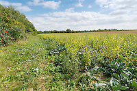 Field margin with pollen & nectar mix - Lincolnshire, August