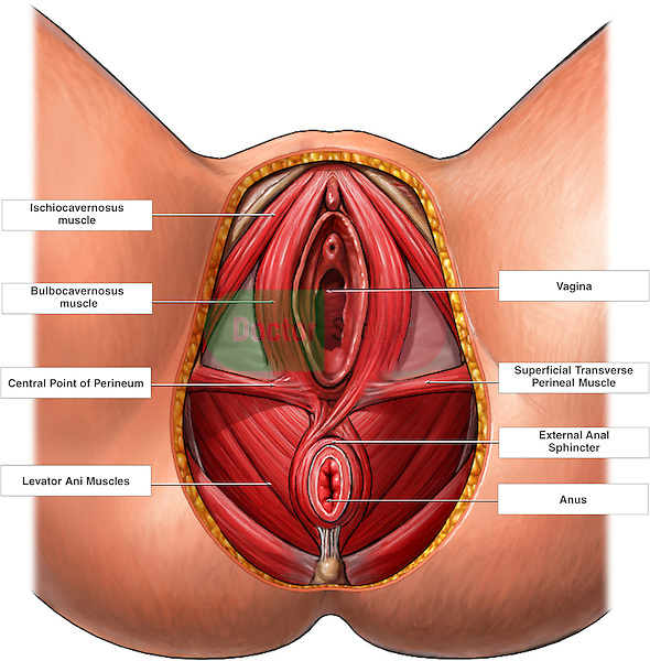 This full color medical exhibit depicts a dissected inferior (bottom) view of the female genitalia. It includes the ischiocavernosus muscle, bulbocavernosus muscle, central point of the perineum,  levator ani muscles,  vagina, superficial transverse perineal muscle, external anal sphincter and anus..