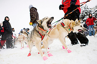 Dog teams can barely contain their excitement as they await the ceremonial start of the 2012 Iditarod Trail Sled Dog Race in downtown Anchorage, Alaska. These two are members of Matt Giblin's team from Juneau, AK.
